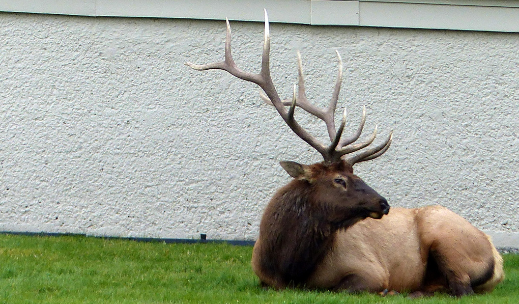 A bull elk lounges on the lawn in front of the Mammoth Hot Springs Hotel in Yellowstone National Park.  (Brian J. Cantwell / The Seattle Times)
