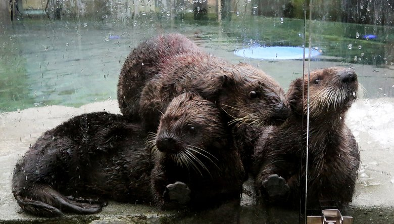 It's a sea-otter pile as Kunik, left, Mak and Rialto line up for another meal at the Vancouver Aquarium. Kunik and Mak are baby otters rescued from Alaska; Rialto was rescued in August from Washington's coast, and brought back to health at the Seattle Aquarium. He was moved to Vancouver in September. (Alan Berner/The Seattle Times)