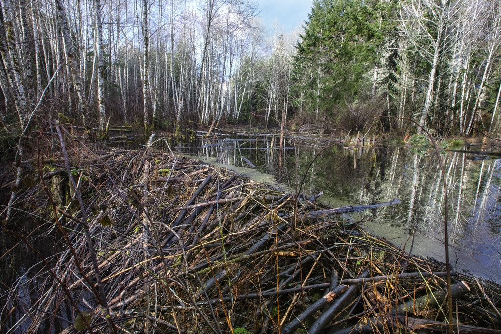 A giant beaver dam takes full control of a stream at the Port Gamble Forest. Herons and other wildlife thrive in the forested wetlands.  (Steve Ringman/The Seattle Times)