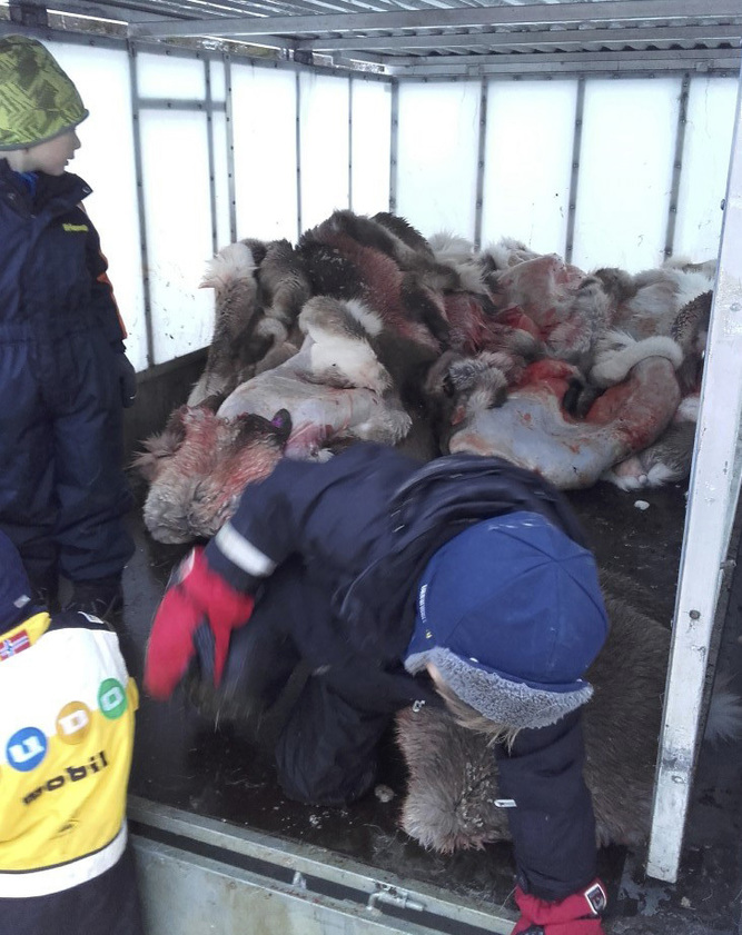 In this photo taken on Tuesday Jan. 10, 2017,  a child gets out of a truck filled with slaughtered reindeer in Henning, Norway.  A preschool in Arctic Norway is facing online criticism for taking 5-year-old children on an outing to view the slaughter and skinning of reindeer at a nearby farm. (Granstubben Barnehage via AP)