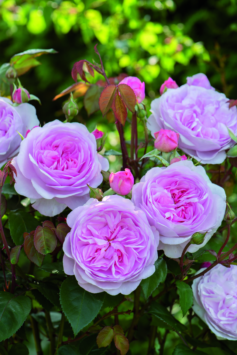 <em>Rosa</em> &#8216;Olivia Rose Austin&#8217;, a new, disease-free introduction that is fragrant and long-blooming, is a favorite in Nita -Jo Rountree&#8217;s garden. (Courtesy David Austin Roses)