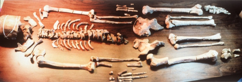 Kennewick Man is seen in an image obtained from the Benton County Coroner's Office.  (James Chatters/James Chatters)