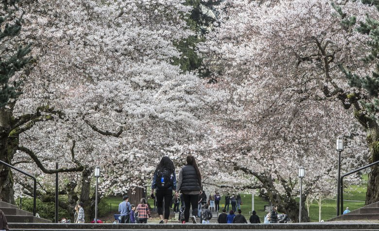 Students and visitors wander among the University of Washington's cherry trees in March 2015. (Steve Ringman / The Seattle Times)