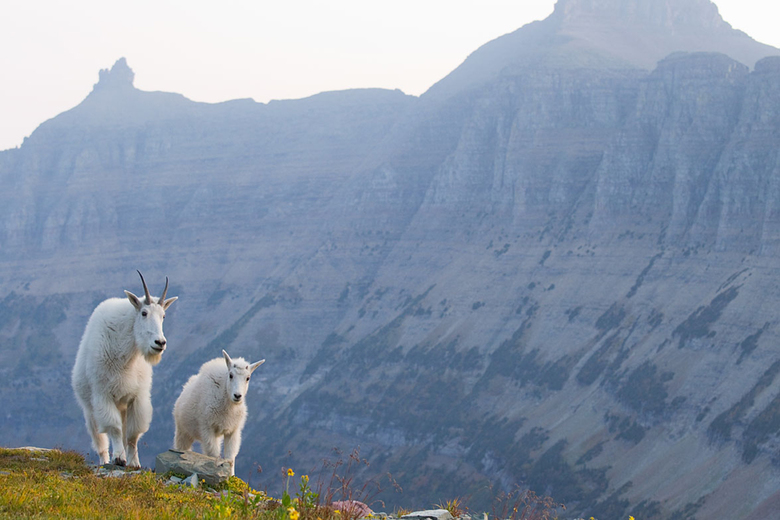 Some of the best mountain goat viewing in the world is located in Central Montana.