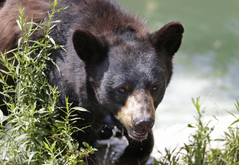 FILE – In this July 25, 2014, file photo, a black bear is seen at the Maine Wildlife Park in Gray, Maine. Nuisance bear complaints are an annual rite of spring in Maine, and state officials said they have begun this year. Bears emerge from hibernation hungry and many of the natural foods they eat in the wild, such as fruits and nuts, are not yet available. This sometimes causes them to seek human food from garbage cans and back porches.  (AP Photo/Robert F. Bukaty, File)