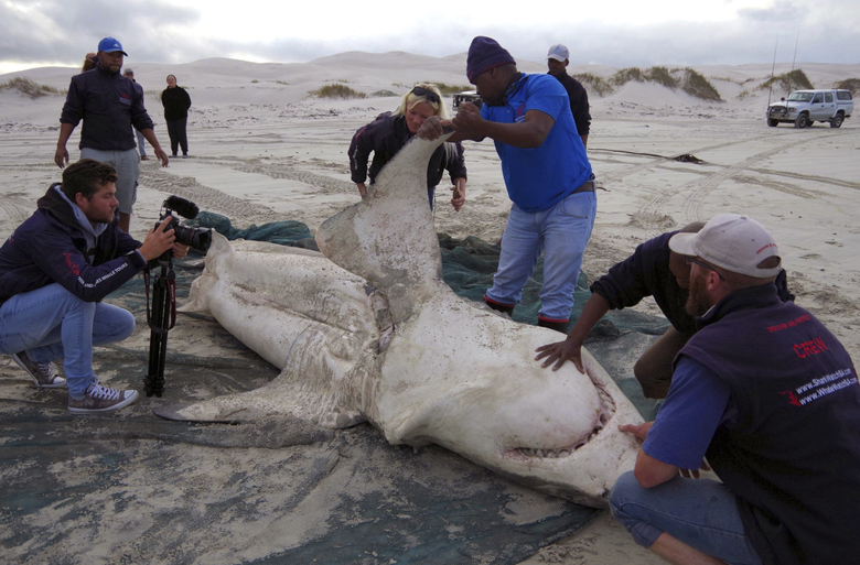 In this photo taken Wednesday May 3, 2017 and supplied by Marine Dynamics, a great white shark is autopsied on a beach in Gansbaai, South Africa. The formidable shark is just another meal to orca whales, which hunt in groups and can enjoy a diverse diet of seals, whales and a host of other marine species. (Tami Kaschke/Marine Dynamics via AP)