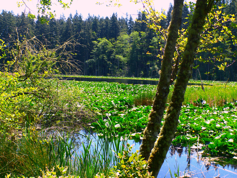Cranberry Lake, in Cama Beach State Park, was created when beavers dammed a small stream. (Brian J. Cantwell / The Seattle Times)