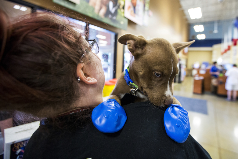 Morgan Reed, a promotions assistant for KSLX, plays with a puppy wearing elastic booties at a PetSmart in Tempe, Ariz. on Tuesday, June 20, 2017. Phoenix radio station KSLX handed out the protective coverings to protect dogs' paws from the hot pavement, as temperatures in Phoenix are forecasted to hit 120 degrees. (AP Photo/Angie Wang)