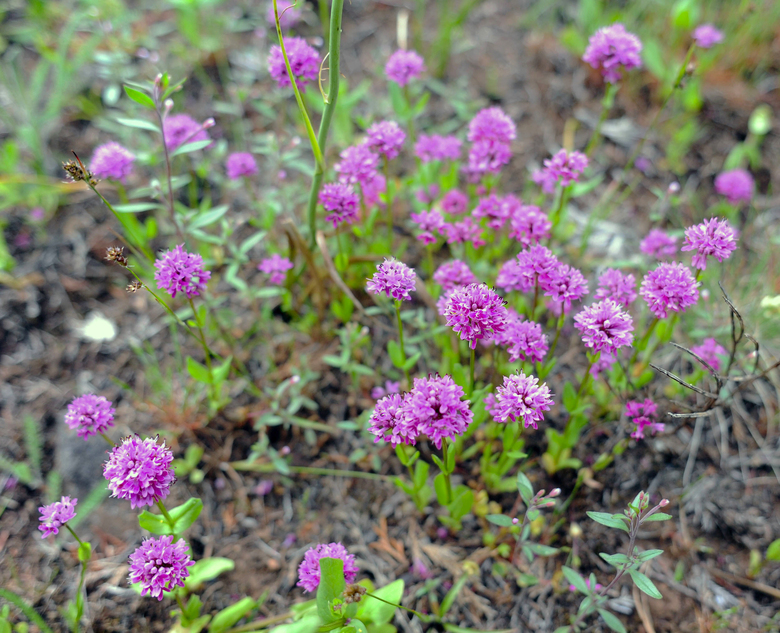 Native Seablush flowers are in full bloom on Hope Island. Wildflowers are thriving on the island in an area that was burned during a wildfire in August.  (Jake Tull/The Associated Press)