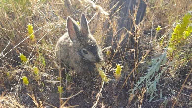 A pygmy rabbit rescued from the Beezley Hills facility eats owl clover in its new enclosure. Washington Department of Fish and Wildlife scientists and Bureau of Land Management firefighters rescued 33 endangered pygmy rabbits last week after the Sutherland Canyon fire roared through the rabbit's breeding facility. (Courtesy of the Washington Department of Fish and Wildlife)