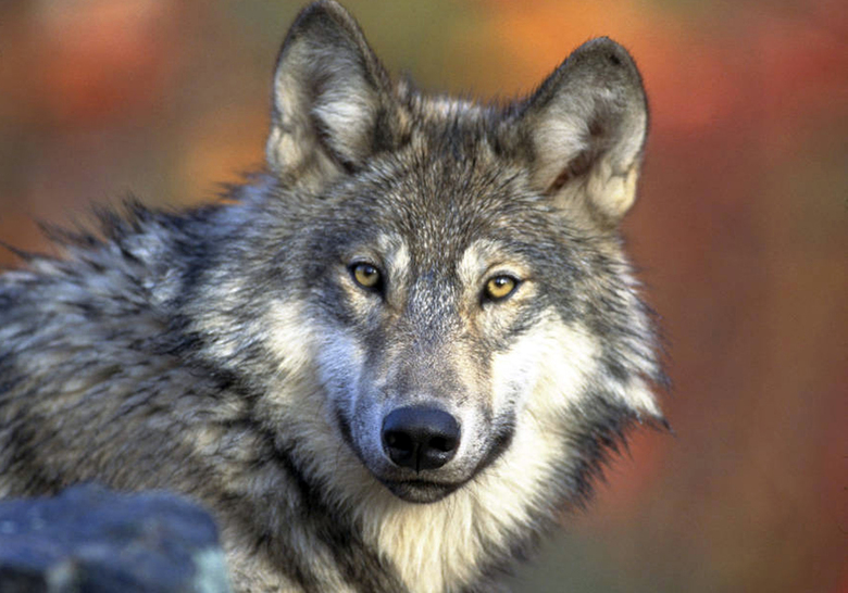 FILE – This April 18, 2008 file photo provided by the U.S. Fish and Wildlife shows a grey wolf. A federal report says gray wolves killed a record number of livestock in Wyoming in 2016, and wildlife managers responded by killing a record number of wolves that were responsible. The report released by the U.S. Fish and Wildlife Service found that wolves killed 243 livestock, including one horse, in 2016 in Wyoming. As a result, wildlife managers last year killed 113 wolves that were confirmed to be attacking livestock. (AP Photo/U.S. Fish and Wildlife Service, Gary Kramer, File)