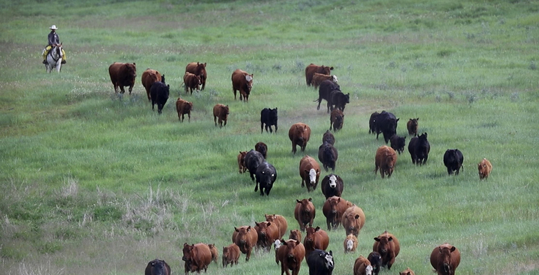 with cattle in washington s wolf country ranchers work and worry