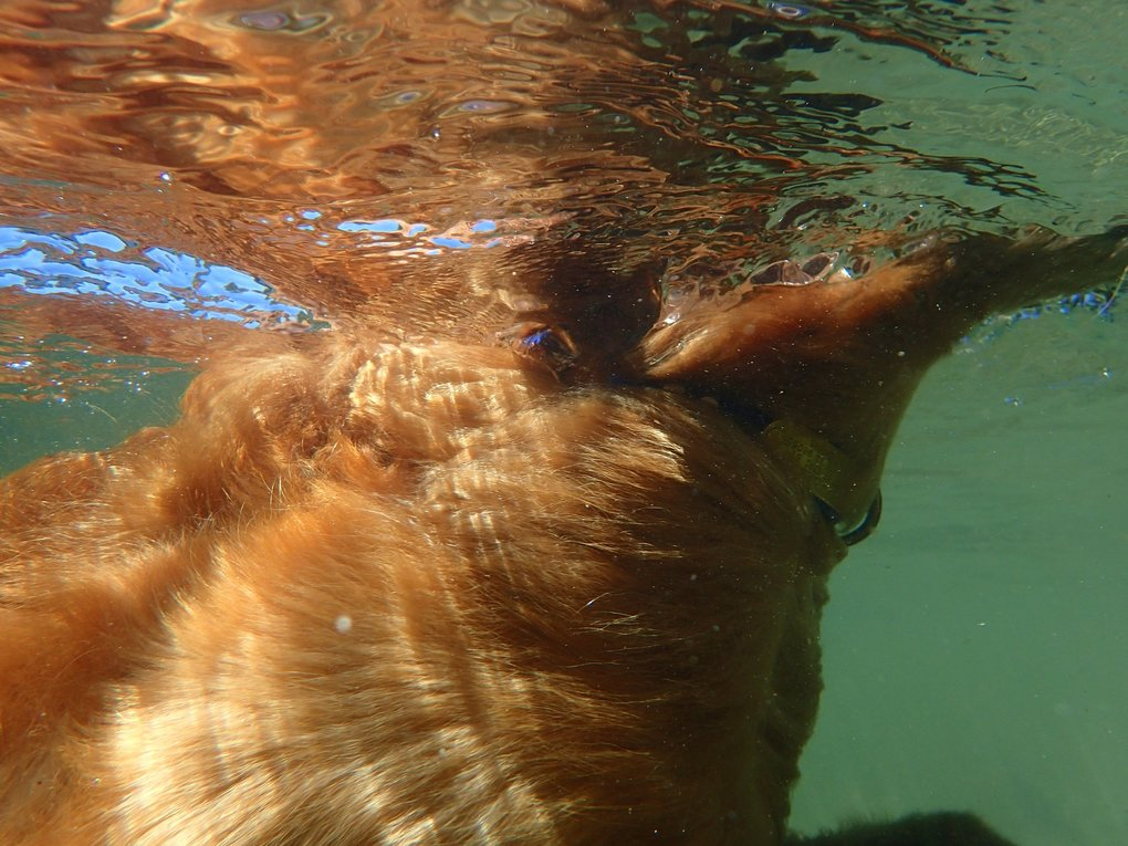"Photo taken by Carol Fix on July 29, 2017 in the Snoqualmie River. ""My Golden Retriever, Maya was happy to indulge me as I tried out my new Olympus TG-4 underwater camera.  I love the way this shot captures the movement of her golden hair in the clear water of the Snoqualmie River."""
