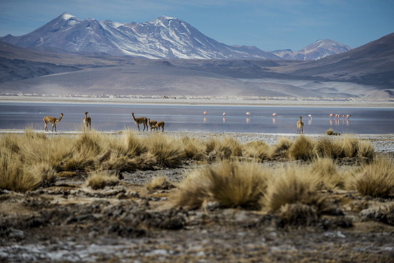 Vicuas and flamingos visit a lake in the Antofagasta region in northern Chile. Once energy-dependent, Chile is on track to become a renewables powerhouse with the potential to export electricity.  (MERIDITH KOHUT/NYT)