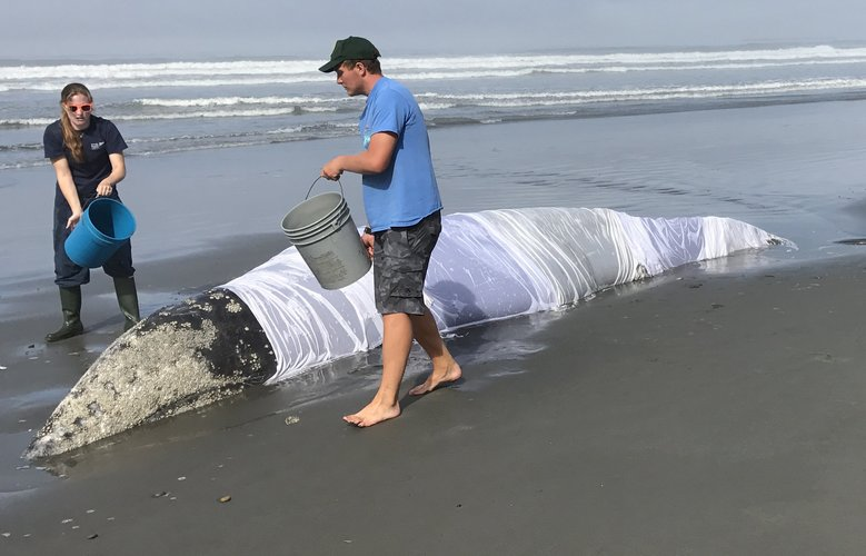 Responders from the West Coast Marine Mammal Stranding Network keep the stranded whale wet before it was freed late Friday night. (Courtesy NOAA)