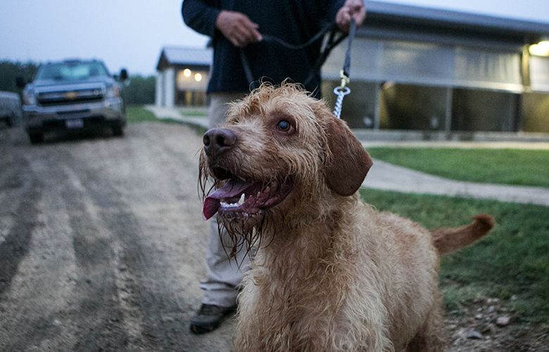FILE — Bobby, a 2 1/2-year-old wirehaired vizsla, at the Canine Training Center on Lackland Air Force Base in San Antonio, May 17, 2016. Security experts warn that the supply of these detection dogs is dwindling worldwide and that the U.S. is especially vulnerable because it relies primarily on brokers who source dogs from Eastern Europe. (Ilana Panich-Linsman/The New York Times)