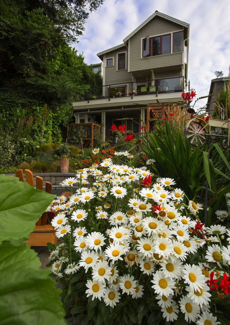 The view past a patch of daisies up the steeply sloped garden toward the back of the three-story house. (Mike Siegel/The Seattle Times)