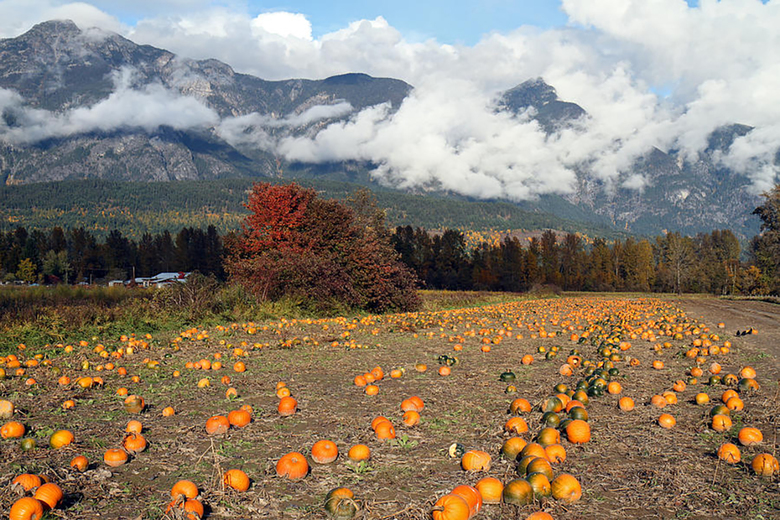 North Arm Farm Pumpkin Patch. (Tourism Pemberton)