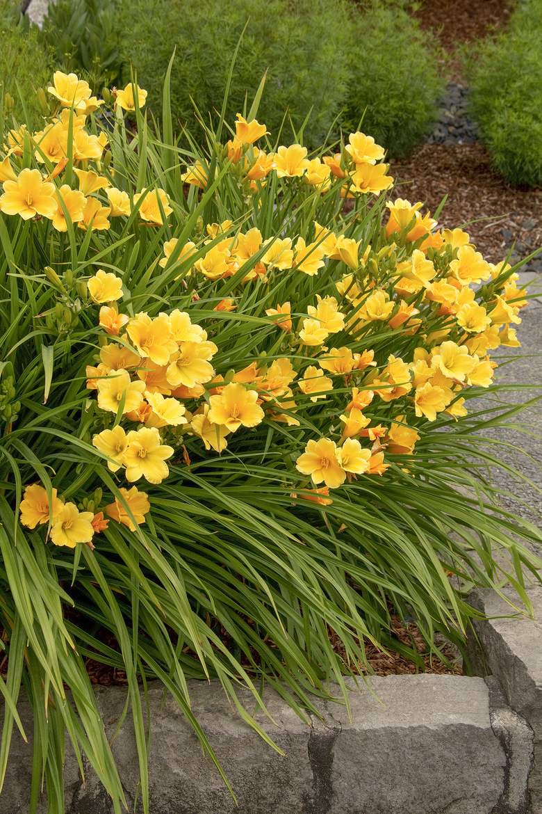 <em>Hemerocallis</em> x &#8216;Stella de Oro&#8217; features heavy clusters of 2-inch yellow blooms. These day lilies will bloom reliably if they are divided every one to three years. (Courtesy Monrovia Nursery)