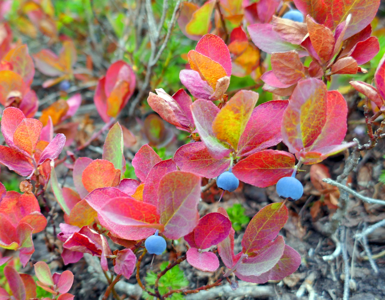 Mountain blueberries ripen as their leaves turn a bright red near Cutthroat Pass. (John Nelson / Special to The Seattle Times)