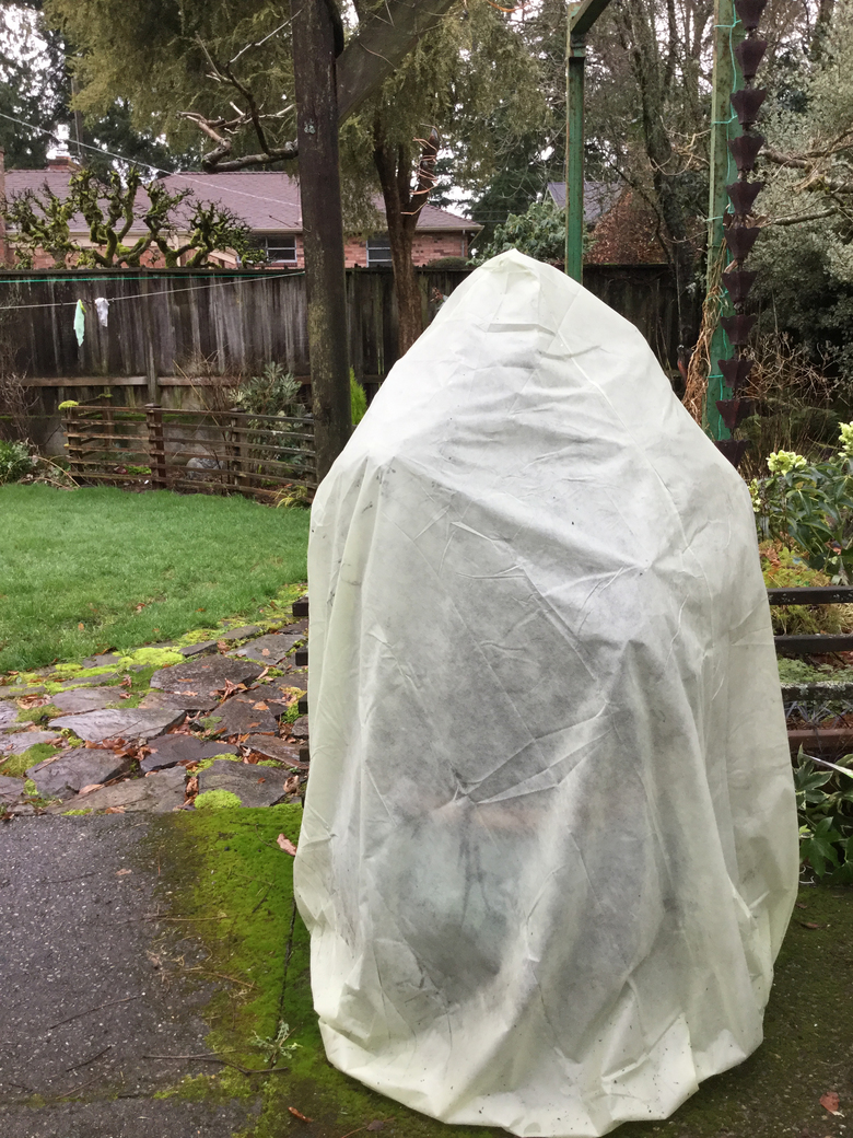 Covering plants can protect them during freezing weather. The temperature under the cover stays 4 degrees warmer and can prevent frost damage to semi-hardy plants. The Frost Protek cover shown here allows enough light and air inside so the plant can remain covered for an extended time. (Courtesy Mary Flewelling Moris)