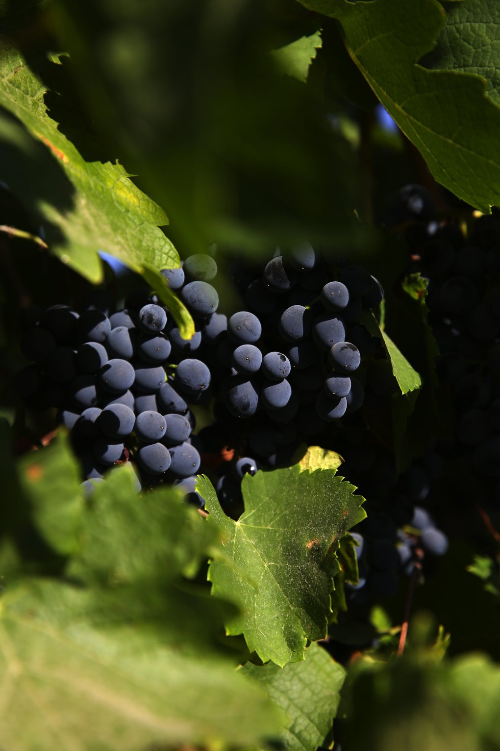 Ready to be picked, syrah grapes show off a deep blue at Chateau Ste. Michelle's Cold Creek Vineyard outside Sunnyside. (Ken Lambert/The Seattle Times)