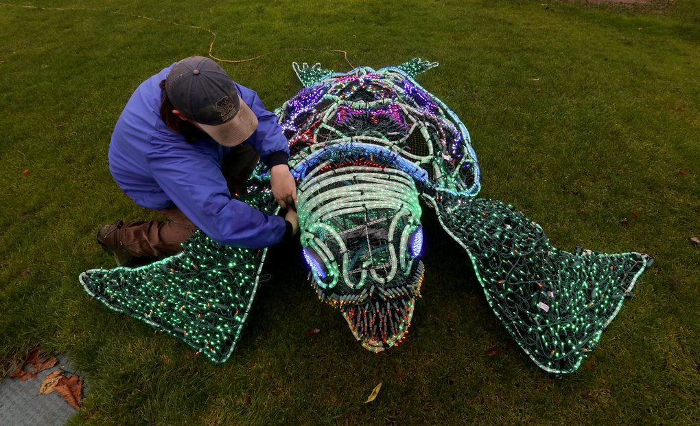 Max Albers finishes up the wiring on a Zoolights sea turtle at the Point Defiance Zoo & Aquarium in Tacoma. There are more than 1,000 LEDs in this figure.  (Alan Berner/The Seattle Times)