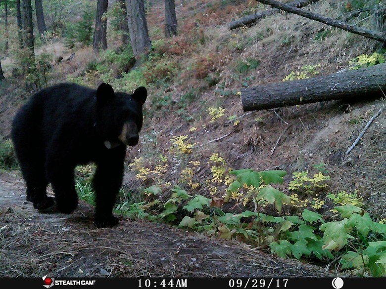 Another critter-cam photo: This black bear had two cubs close behind. (Jeff Layton photo)