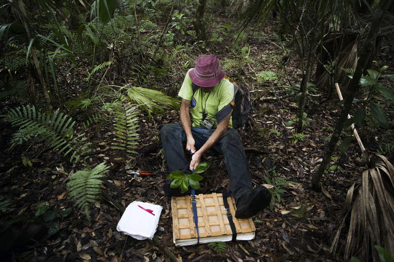 In this Friday, May 5, 2017 photo, Dr. George Wilder uses his entire body to close the ratchet straps on one of his plant presses at Corkscrew Swamp Sanctuary in Naples, Fla. Dr. Wilder collects specimens when working in the field and brings them back to his herbarium at the Naples Botanical Gardens. His herbarium currently contains 40,229 specimens. (Katie Klann/Naples Daily News via AP)
