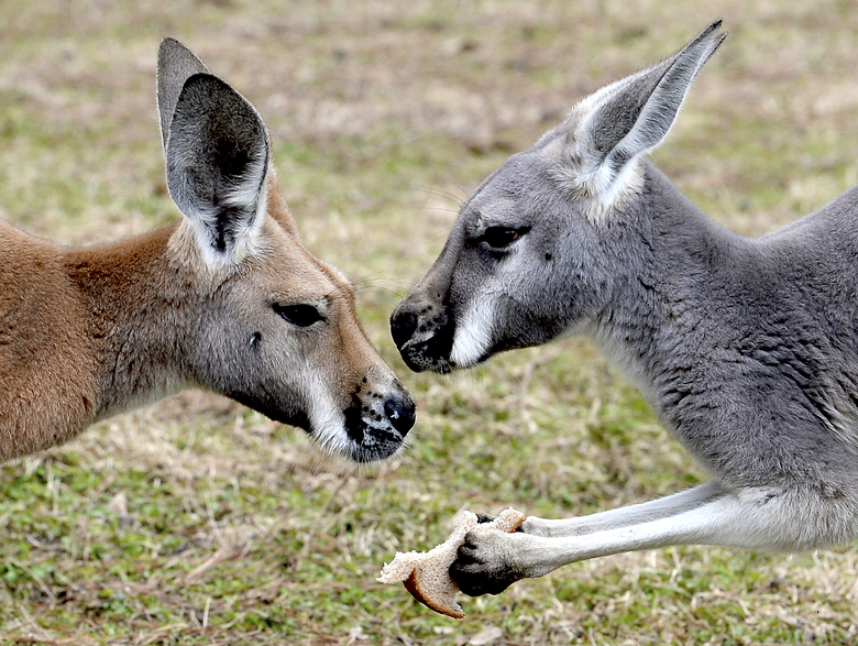 In this Jan. 20, 2018 photo, Kangaroos roam inside their pen at Perry Viator's home in Lumberton, Texas. Viator has been raising kangaroos at his home for 26 years and is licensed by the USDA to sell them. (Kim Brent/The Beaumont Enterprise via AP)