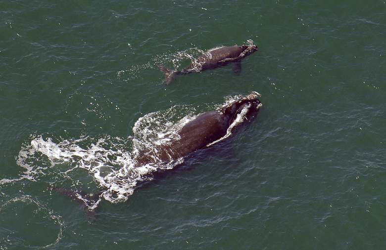 FILE – In this 2009 file photo, a female right whale swims at the surface of the water with her calf a few miles off the Georgia coast in 2009. Scientists watching for baby right whales off the Southeast U.S. coast have yet to spot a single newborn seven weeks into the endangered species' calving season, a dry spell researchers haven't seen in nearly 30 years. (AP Photo/Savannah Morning News, John Carrington, File)