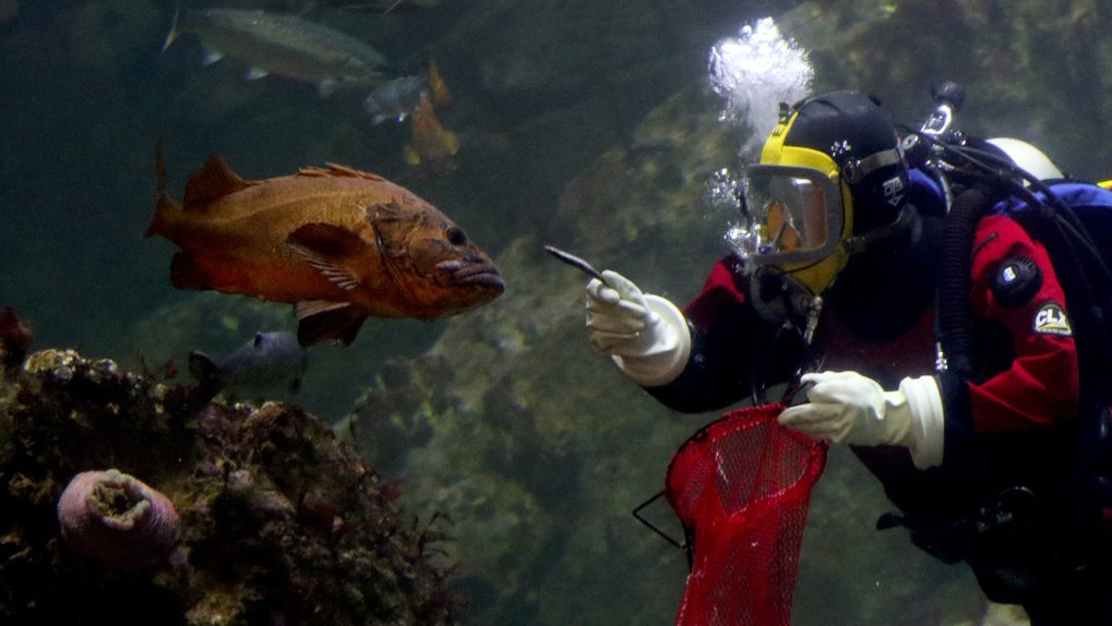 Seattle Aquarium diver Nicole Killebrew feeds a 50-year-old rock fish restaurant-grade food. Inhabitants of the 120,000-gallon exhibit regularly are fed squid, herring, krill and anchovies. (Alan Berner/The Seattle Times)