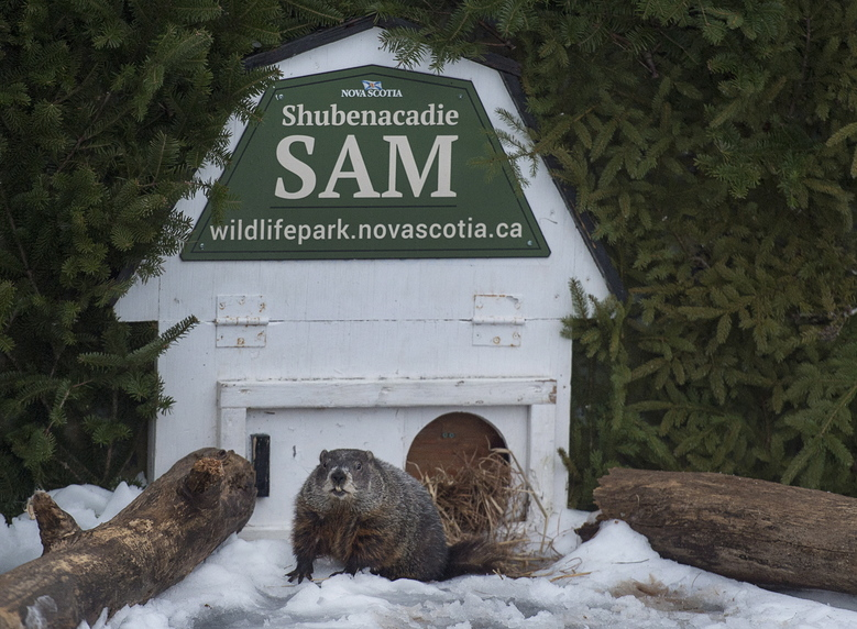 Shubenacadie Sam looks around after emerging from his burrow at the wildlife park in Shubenacadie, Nova Scotia, Canada on Friday, Feb. 2, 2018. Sam's handlers announced on Friday the weather prognosticator failed to see his shadow and predicts an early spring.  (Andrew Vaughan/The Canadian Press via AP)