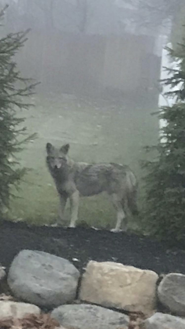 A photo that Clarkstown police posted on their Facebook page in December 2017 identified this creature as a coywolf, or Eastern coyote, that had been seen in the community. Coywolves are turning up all over Clarkstown, New York, in parks and near schools, on residential streets, and in business and industrial corridors, residents say. (VIA CLARKSTOWN POLICE/NYT)