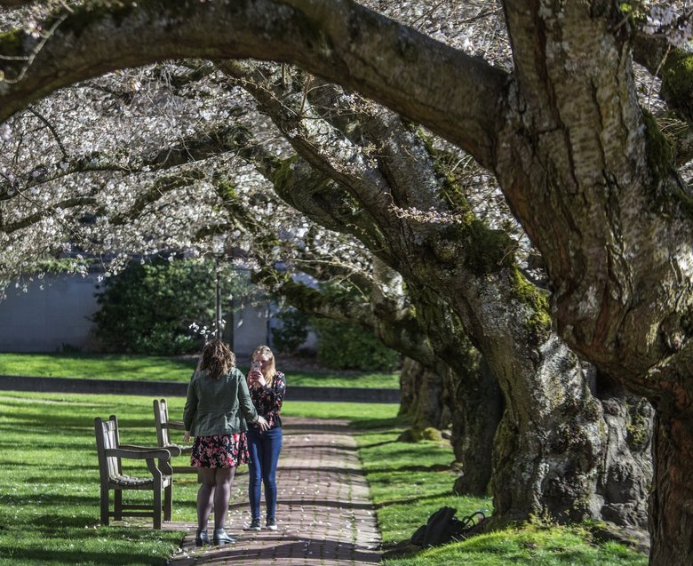 Thursday afternoon, it was all sunshine and emerging cherry blossoms on the campus at the University of Washington. (Steve Ringman / The Seattle Times)