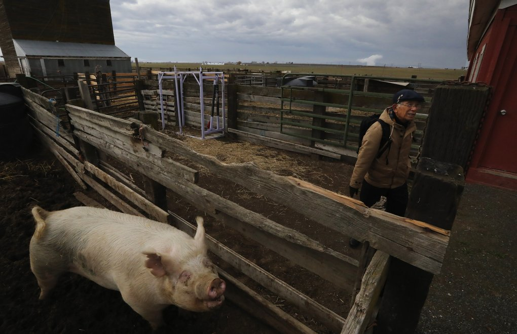 Mitsugi Moriguchi checks out the livestock on Tom Bailie's Mesa farm. About 15 miles in the distance, a steam plume rises from Columbia Generation Station, Washington state's only operating nuclear power plant.  (Alan Berner/The Seattle Times)