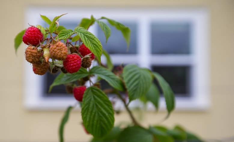 Raspberries are part of the bounty from Dina Burstein and Robby Stern's Capitol Hill garden. (Mike Siegel/The Seattle Times)