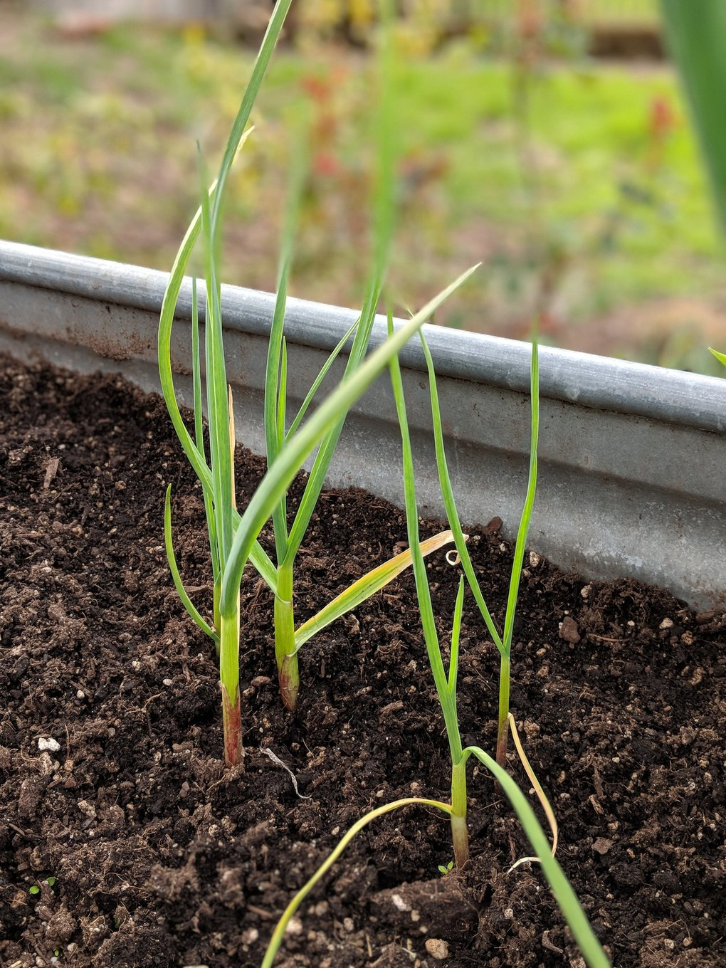 Hardneck varieties of garlic can be found at farmers markets in early fall. Plant each clove individually, and each will sprout a green stem called a garlic chive within a few weeks. This variety will produce garlic scapes in the spring.  (Jill Lightner / Special to The Seattle Times)