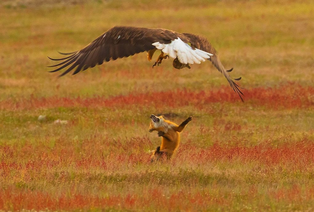A bald eagle drops a red fox after stealing the European rabbit the fox had caught in San Juan Island National Historical Park in Washington state.  (Kevin Ebi / LivingWilderness.com)