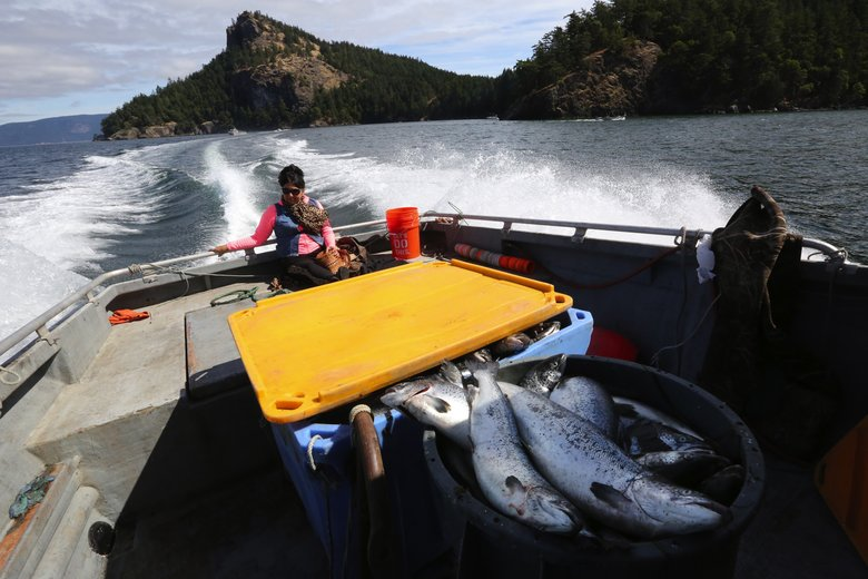 A tote and a tub on the deck of Jay Julius' fishing boat in August contain about 170 of the escaped farmed Atlantic salmon off Cypress Island. The failure of Cooke Aquaculture's net pen sent more than 150,000 Atlantic salmon into the Salish Sea. (Alan Berner/The Seattle Times)