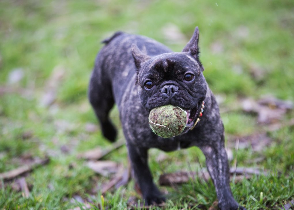 EAST: French bulldog Madeline, 3, absconds with another dog's tennis ball at the off-leash dog park at Marymoor Park in Redmond. (Lindsey Wasson / The Seattle Times file, 2016)