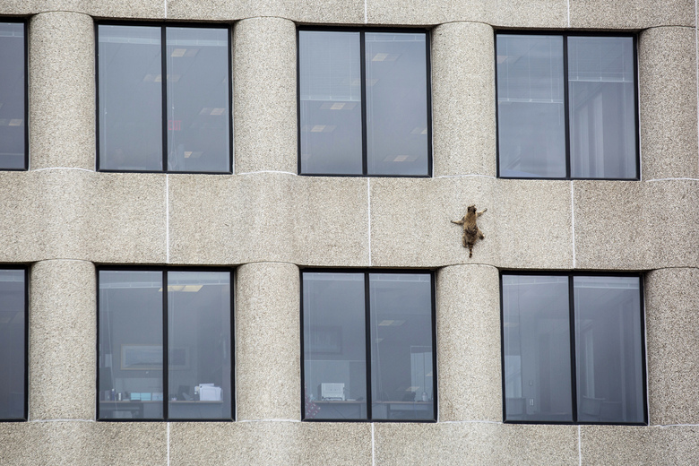 A raccoon scurries up the side of the UBS Tower in St. Paul, Minn., on Tuesday, June 12, 2018. (Evan Frost/Minnesota Public Radio via AP)