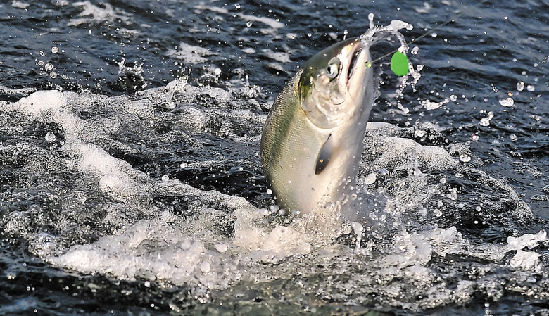 FILE – In this undated file photo, a chinook salmon is hooked near Brookings, Ore. Alaska and Canada would reduce their catch of endangered Chinook salmon in years with poor fishery returns under an agreement that spells out the next decade of cooperation between the U.S. and Canada to keep various salmon species afloat in Pacific waters. (Jamie Lusch/The Medford Mail Tribune via AP, File)