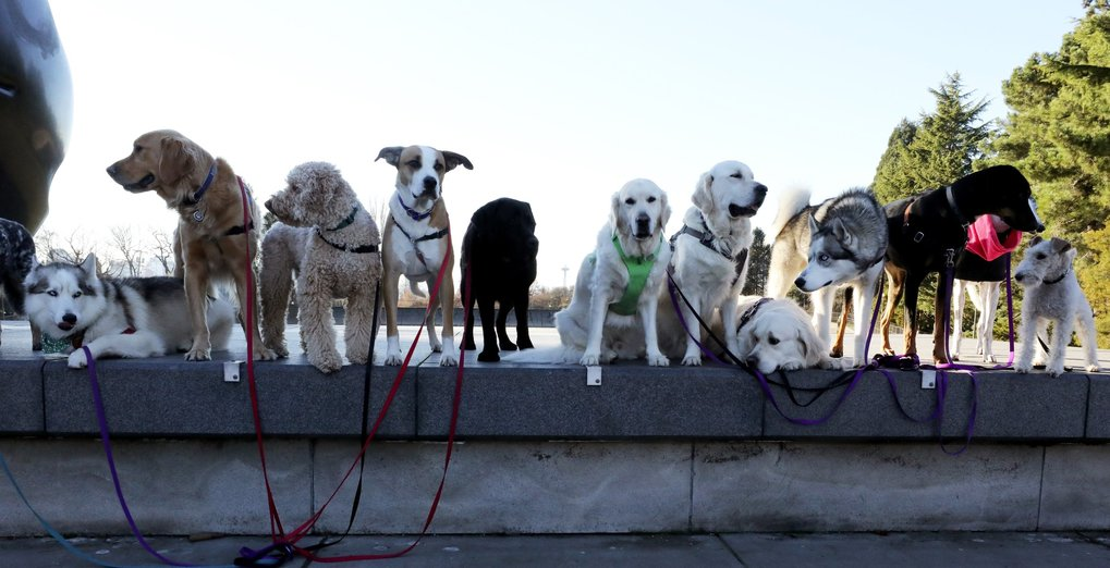 "As they do most Wednesdays, Seattle4Dogs' canine clients gather next to Isamu Noguchi's sculpture ""Black Sun"" for a portrait at the end of their walk.  (Alan Berner / The Seattle Times)"