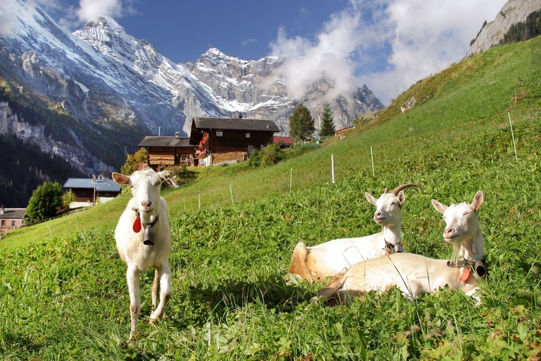 Life is good in Switzerland's Gimmelwald, even for sunbathing goats. (Dominic Arizona Bonuccelli / Rick Steves' Europe)