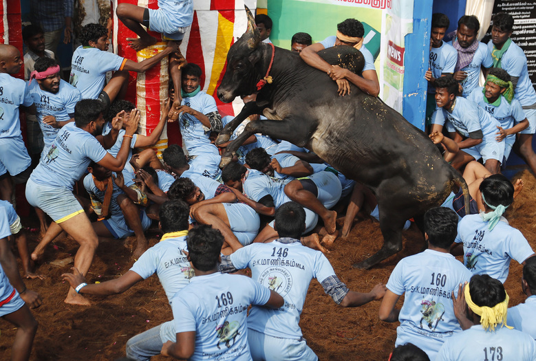 "In this Thursday, Jan. 17, 2019, photo, Indian tamers react as a fellow tamer tries to control a charging bull during a traditional bull-taming festival called Jallikattu, in the village of Allanganallur, near Madurai, Tamil Nadu state, India. Jallikattu involves releasing a bull into a crowd of people who are expected to hang on to the animal's hump for a stipulated distance or hold on to the hump for a minimum of three jumps made by the bull. The sport, performed during the four-day ""Pongal"" or winter harvest festival, is hugely popular in Tamil Nadu. (AP Photo/Aijaz Rahi)"