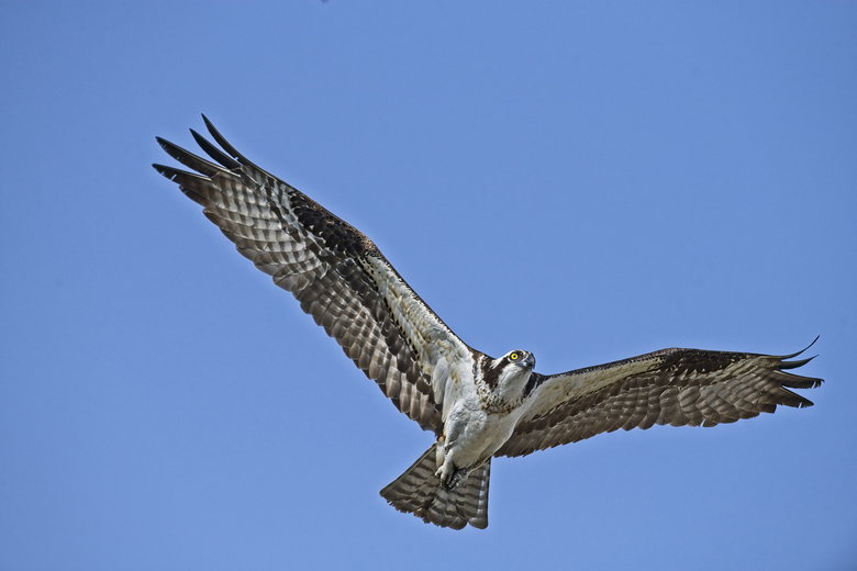 The adult female osprey soars high above the nest. Glenn Nelson watched the osprey family for 18 weeks, spending about 125 hours near the nest on more than 30 visits. (Glenn Nelson)