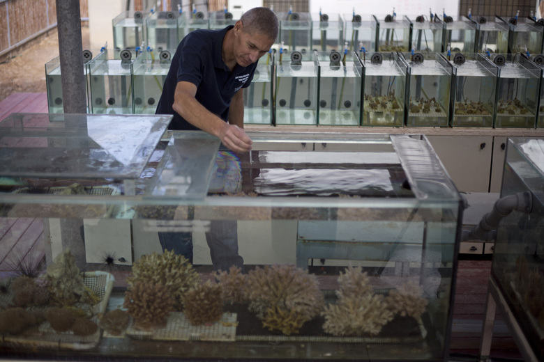 In this Monday, Feb. 11, 2019 photo, Maoz Fine, an expert on coral reefs at Bar-Ilan University, measures the water temperature of tanks treated to simulate future climate change conditions in a lab in the Red Sea city of Eilat, southern Israel.  As the outlook for coral reefs across our warming planet grows grimmer than ever, scientists have discovered a rare glimmer of hope: the corals of the northern Red Sea may survive, and even thrive, into the next century. (AP Photo/Ariel Schalit)