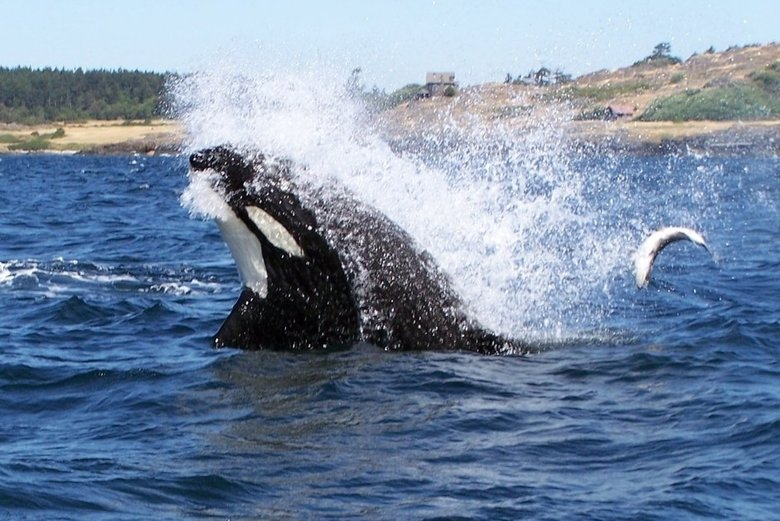 A southern resident orca feeds on salmon along the west side of San Juan Island.  (Spirit of Orca Whale Watching and Wildlife Tours)