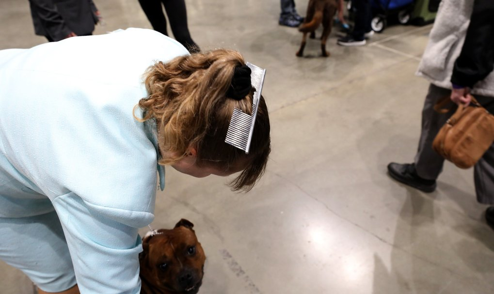 Handler Dee Dills prepares Gunner, a Stafford bull terrier, to strut his stuff in competition at the annual Seattle Kennel Club  dog show at CenturyLink Event Center. Last year Gunner was No. 2 in the country in his breed. (Alan Berner / The Seattle Times)